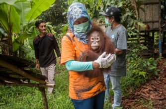 This handout from the International Animal Rescue taken on March 19, 2018 and released on March 23, 2018 shows Utu the orangutan being carried after being rescued from villagers who had kept him as a house pet in Ketapang, West Kalimantan province. / AFP photo / International Animal Rescue