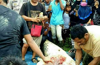 Indonesian authorities cut open a crocodile after they shot and killed the six-metre (20 foot) long creature close to a riverbank in Marukangan on March 2, 2018, where a local palm oil plantation worker had gone missing two days earlier.  A human leg and arm have been found inside the belly of a huge crocodile suspected of mauling a man to death in Kalimantan, the Indonesian part of Borneo which is shared with Malaysia.  / AFP PHOTO / str