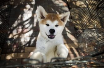 "This picture taken on April 3, 2018 shows an Akita dog in a kennel at a breeding centre in Takasaki, Gunma prefecture. Hollywood actor Richard Gere, French film star Alain Delon and Russia's figure skating sensation Alina Zagitova have one thing in common: They adore Japan's Akita dogs. / AFP PHOTO / Behrouz MEHRI / TO GO WITH AFP STORY ""JAPAN-ANIMAL-DOGS-AKITA"" BY NATSUKO FUKUE"