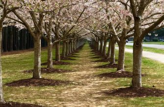Cherry Blossoms at the Red Wing Park in Virginia Beach, Virginia, USA. Photo by Archie Talens, Eagle News Service.