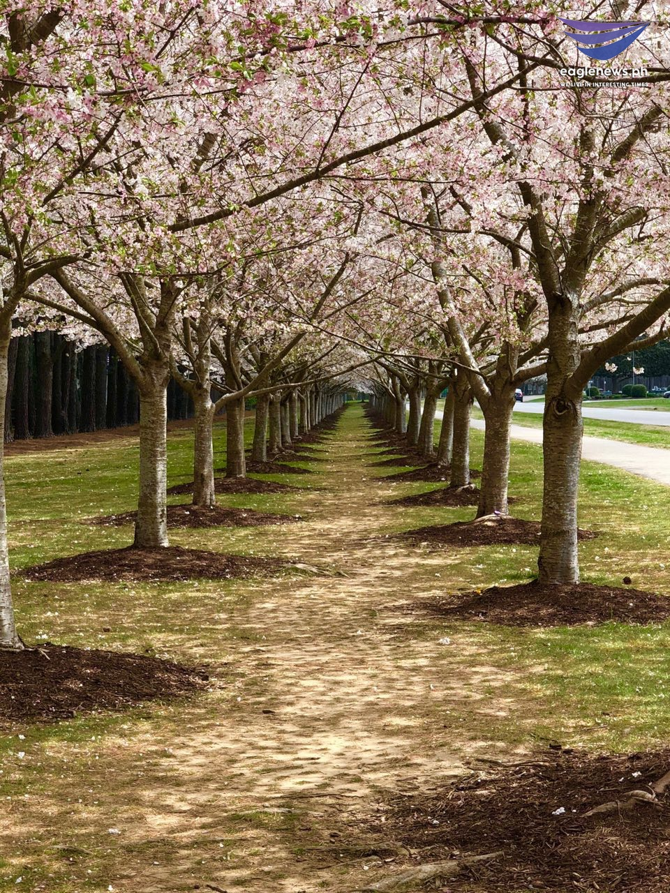 #EBCPhotography:  Cherry Blossoms bloom in Virginia Beach