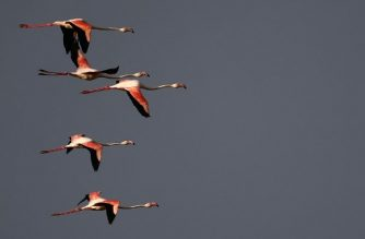 (FILES) In this file photo taken on May 06, 2018 Flamingos fly at sunset in Cagliari. Why have some birds opted for a taxing life of constant migration -- seeking out temperate climes to feed as winter arrives, only to return months later to breed? Seemingly paradoxically, the behaviour is driven by a quest for energy efficiency, a study said May 7, 2018.   / AFP PHOTO / MARCO BERTORELLO