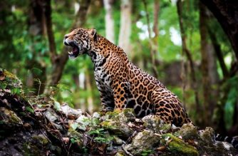 "This handout photo of a jaguar (Panthera onca) released on June 14, 2018 by the World Wide Fund for Nature (WWF) was taken in 2012 at the Laguna Om in Quintana Roo state, Mexico. The population of jaguars grew 20 percent in Mexico in the last eight years, to 4,800 in the wild, boosted by a joint effort by the government and civil society to preserve the largest feline in the Americas, according to the results of a national census released Thursday.  / AFP PHOTO / WWF / HO / RESTRICTED TO EDITORIAL USE-MANDATORY CREDIT ""AFP PHOTO/WORLD WIDE FUND FOR NATURE/HO"" NO MARKETING NO ADVERTISING CAMPAIGNS-DISTRIBUTED AS A SERVICE TO CLIENTS-GETTY OUT"