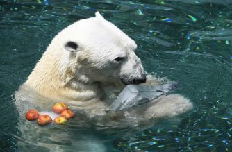 A polar bear, 23-year-old male named Tongki, snacks on an ice block given out to help beat the summer heat at South Korea's Everland Amusement and Animal Park in Yongin, south of Seoul, on June 21, 2018.  The last polar bear kept in South Korea will be sent to Britain to escape the country's stifling, humid summers and live out his days in more appropriate surroundings, zookeepers said on June 21. / AFP PHOTO / Jung Yeon-je