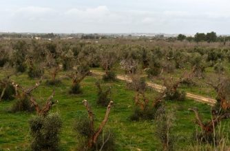 """(FILES) This file photo taken on February 11, 2016 shows olive trees infected by the bacteria """"Xylella fastidiosa"""" in Gallipoli near Lecce, in the Puglia region. According to a new study published in Nature Plants on June 25, 2018, researchers succeeded to detect the presence of Xylella fastidiosa bacteria, known as """"olive killer"""", before the symptoms of the disease appear. / AFP PHOTO / TIZIANA FABI"""