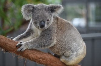 In this photo taken on April 28, 2016, a koala who goes by the name of Oxley Kaylee who lost an eye and has had her left hind leg amputated after being hit by a car resides at the Koala Hospital in Port Macquarie.   The outlook for koala populations on Australia's east coast is dire as habitat loss, dog attacks, car strikes, climate change and disease take their toll. While there were believed to be more than 10 million koalas before British settlers arrived in 1788, a 2012 national count placed their total numbers at around 330,000, though their existence in treetops makes accurate assessment difficult.  / AFP PHOTO / PETER PARKS / TO GO WITH AFP STORY AUSTRALIA-ANIMAL-ENVIRONMENT-KOALA-CONVERSATION,FEATURE BY GLENDA KWEK