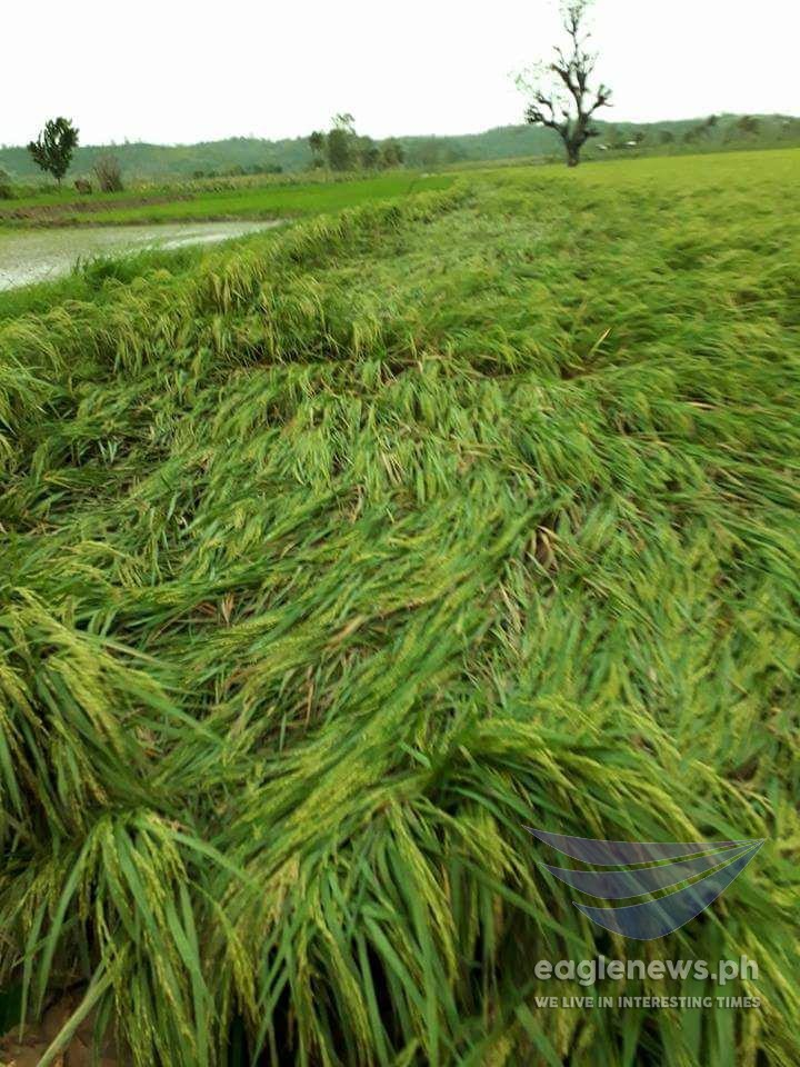 In photos:  Vast rice and cornfields in Ilagan, Isabela damaged by typhoon Ompong