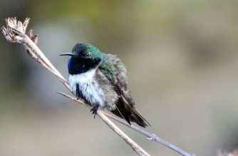"Handout photo taken on December 14, 2017 and released on September 28, 2018 by Ecuadoran ornithologist Francisco Sornoza of a male blue-throated hillstar hummingbird (Oreotrochilus cyanolaemus) pictured at the Cerro de Arcos, near the village of Zaruma in El Oro province, Ecuador, border with Peru.   The blue-throated hillstar hummingbird is endemic to Ecuador and is under danger of extinction. / AFP PHOTO / Francisco Sornoza / Francisco SORNOZA / RESTRICTED TO EDITORIAL USE - MANDATORY CREDIT ""AFP PHOTO - Francisco SORNOZA"" - NO MARKETING NO ADVERTISING CAMPAIGNS - DISTRIBUTED AS A SERVICE TO CLIENTS"