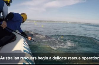 Baby whale rescued from shark net in Australia