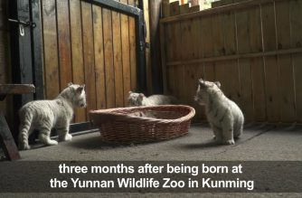Look: China purrs over white tiger triplets