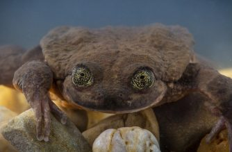 """Handout picture released by the Global Wildlife Conservation taken on December 13, 2018 showing Julliet, a Sehuencas water frog rediscovered in the wild in Bolivia, seen here during her quarantine as she acclimates to her new environment at the Museo de Historia Natural Alcide d'Orbigny in Cochabamba, Bolivia. - On a recent expedition to a Bolivian cloud forest, Global Wildlife Conservation and the Museo de Historia Natural Alcide d'Orbigny rediscovered the Sehuencas water frog in the wild, including Juliet, who will play a critical role in saving her species from extinction. Juliet will be introduced to Romeo, previously the last-known Sehuencas Water Frog, who has lived at the museum for the last 10 years. No frogs of this species have been seen in the wild during that time, until now. (Photo by Robin MOORE / Global Wildlife Conservation / AFP) / RESTRICTED TO EDITORIAL USE - MANDATORY CREDIT """"AFP PHOTO / GLOBAL WILDLIFE CONSERVATION / ROBIN MOORE"""" - NO MARKETING NO ADVERTISING CAMPAIGNS - DISTRIBUTED AS A SERVICE TO CLIENTS"""