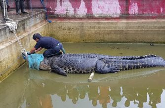 "This handout picture taken on January 14, 2019 and received from conservation group Balai KSDA Sulawesi Utara on January 16 shows a 4.4 metre long crocodile named Merry being secured before being taken out of its enclosure in Minahasa in North Sulawesi, after a woman on January 10 was mauled to death in the reptile's enclosure. - The giant reptile, which was owned illegally, was sedated and removed from its enclosure on January 14 in a three-hour long operation that involved dozens of people, including conservation officials, the army and police, and will be transferred to a conservation area. (Photo by Handout / Balai KSDA Sulawesi Utara / AFP) / RESTRICTED TO EDITORIAL USE - MANDATORY CREDIT ""AFP PHOTO / BALAI KSDA SULAWESI UTARA"" - NO MARKETING NO ADVERTISING CAMPAIGNS - DISTRIBUTED AS A SERVICE TO CLIENTS == NO ARCHIVE"