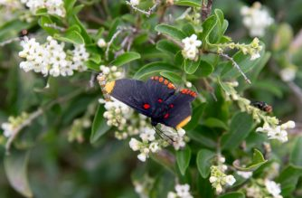 A Red-bordered Pixie butterfly at the National Butterfly Center on January 16, 2019 in Mission. Texas. - The protected habitat of butterflies along the Rio Grande is expected to be plowed over to clear the way for President Trump's border wall after the US Supreme Court rebuffed a challenge by environmental groups. (Photo by SUZANNE CORDEIRO / AFP)