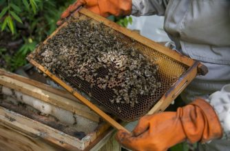 """Globally, bees have been mysteriously dying off from """"colony collapse disorder"""" in recent years, blamed party on pesticides, but also on mites, viruses and fungi."""