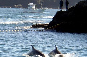 "(FILES) This November 23, 2003 file picture shows two Risso's dolphins being herded by fishing boats near the village of Taiji, Wakayama prefecture. - Environmental campaigners have filed an unprecedented lawsuit in a bid to halt the so-called ""drive hunting"" of dolphins in Japan, arguing the practice is cruel and illegal. (Photo by RYAN NAKASHIMA / AFP)"