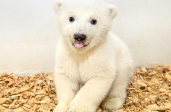 "This handout picture released by the Tierpark Berlin shows the still unnamed female 11-week-old polar bear cub during a first veterinary examination at the Tierpark zoo in Berlin, on February 14, 2019. (Photo by Steffen FREILING and Handout / TIERPARK BERLIN / AFP) / RESTRICTED TO EDITORIAL USE - MANDATORY CREDIT ""AFP PHOTO / TIERPARK BERLIN/ STEFFEN FREILING / HANDOUT"" - NO MARKETING NO ADVERTISING CAMPAIGNS - DISTRIBUTED AS A SERVICE TO CLIENTS"