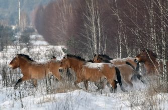"""(FILES) This file photo taken on January 22, 2016 shows   wild Przewalski's horses on a snow covered field in the Chernobyl exclusions zone. All the world's wild horses have gone extinct, according to a study on February 22, 2018 that unexpectedly rewrites the horse family tree based on a new DNA analysis of their ancestry. What most people thought were the last remaining wild horses on Earth -- known as Przewalski's horses -- were actually domesticated horses that escaped their owners, said the report in the journal Science.""""This was a big surprise,"""" said co-author Sandra Olsen, curator-in-charge of the archeology division of the Biodiversity Institute and Natural History Museum at the University of Kansas.  / AFP PHOTO / GENYA SAVILOV"""