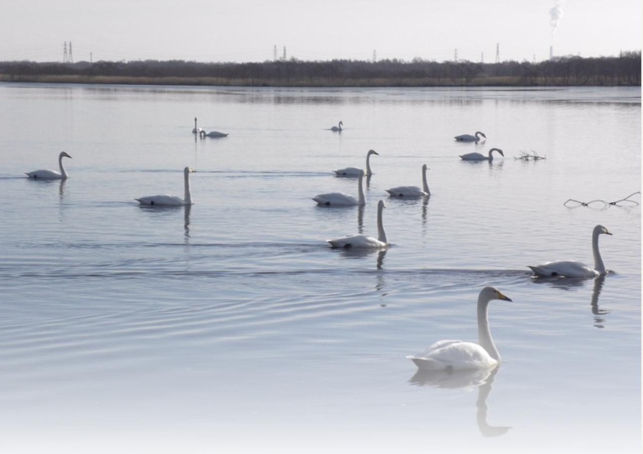 白鳥が集まる休憩地点で味わう苫小牧のジューシーなご当地グルメ 札幌
