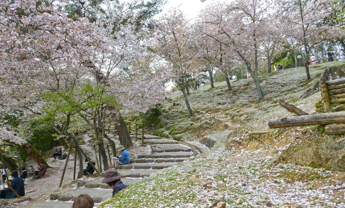 nara-park-sakura