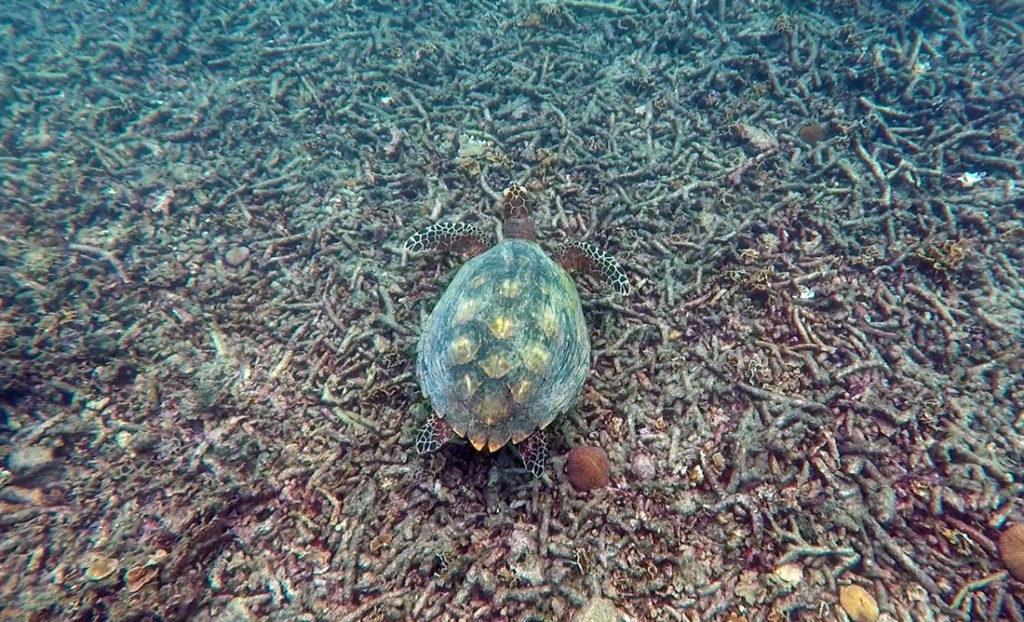 koh tao şnorkel kaplumbağa