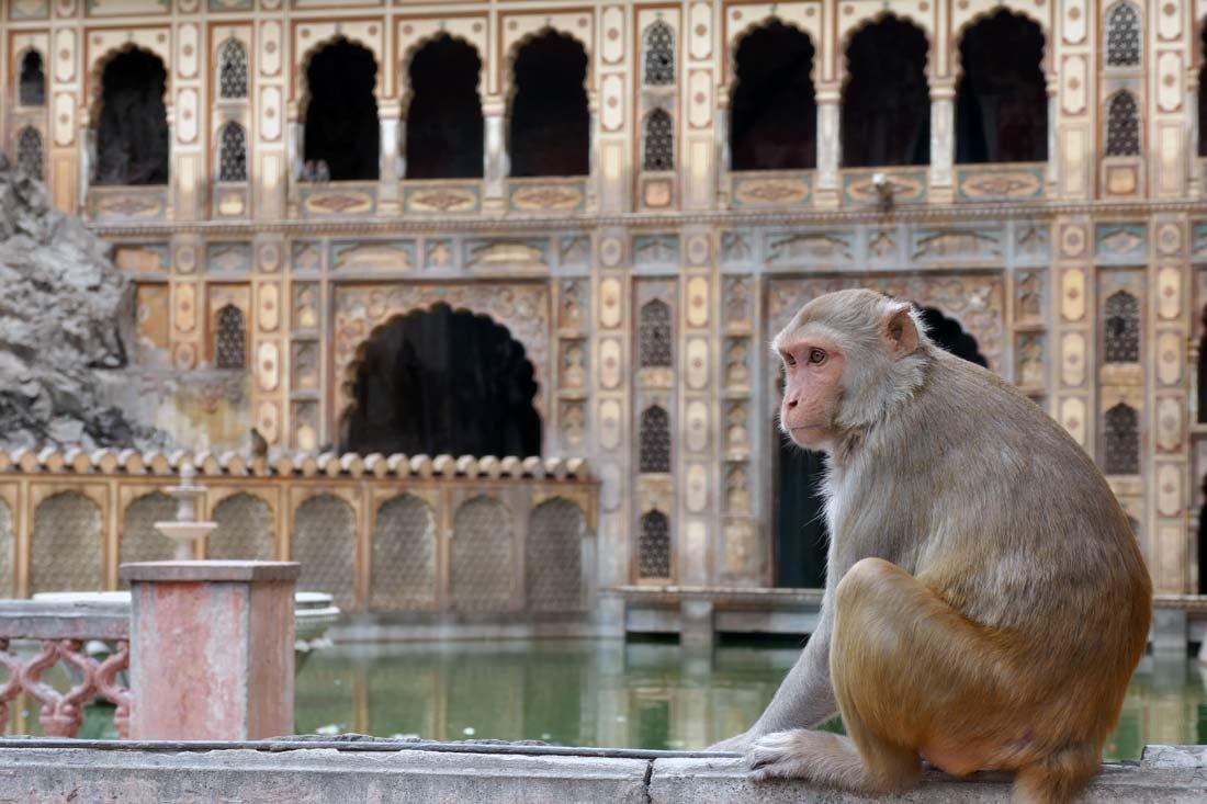 maymun tapınağı jaipur