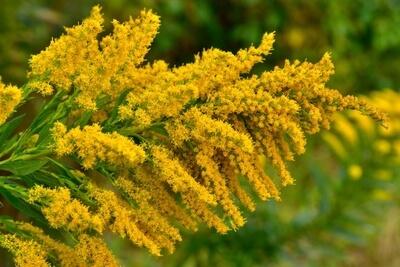 花粉症をもたらす「ブタクサ」ってどんな草?由来や花粉時期など