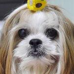 愛犬を襲った「免疫介在性溶血性貧血」(IMHA)体に現れた異変とは……?