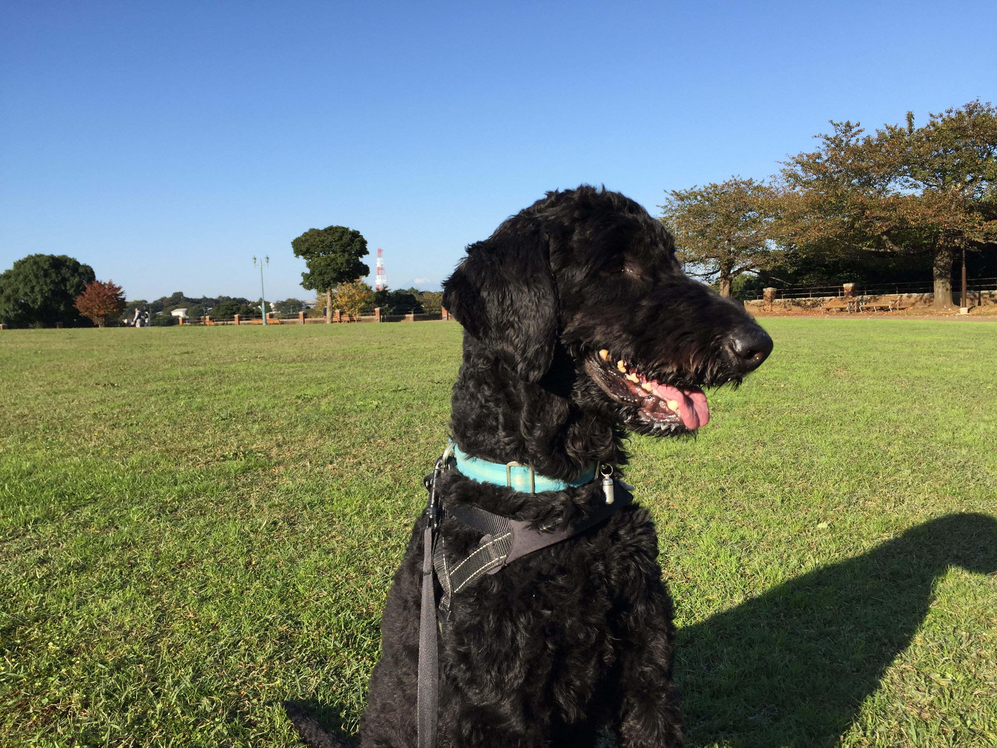 プードル ミックス 大型犬