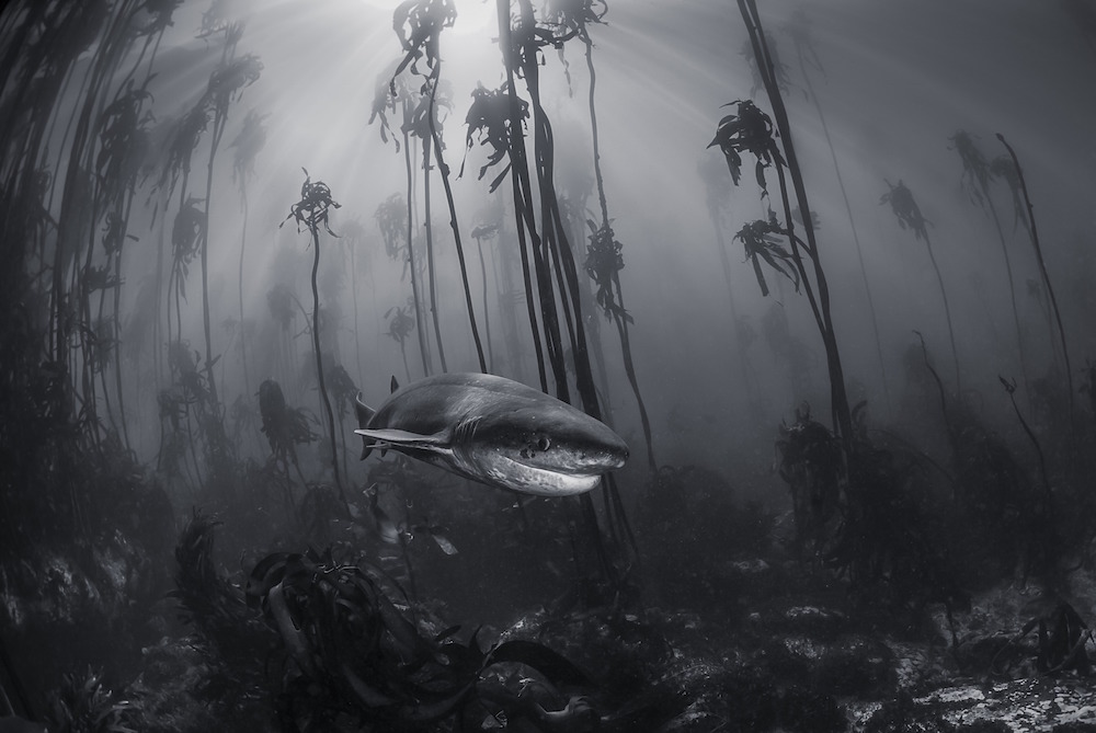 You don't need to travel far from cities to visit Narnia. This 7 gill shark was photographed in a kelp forest just off the shore of Simonstown near Cape Town.