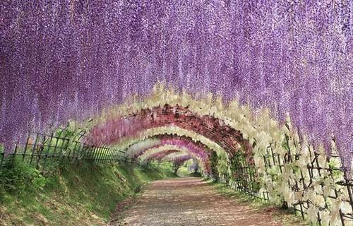 藤の花の名所のイメージ画像 福岡の藤の花の名所4選|藤のトンネルの下はまさに別世界!|cozre