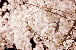 cherry-blossom-987192_640