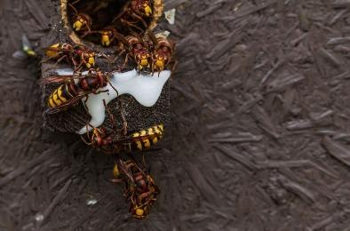 Japanese giant hornet suzumebachi