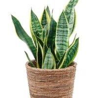 【育てやすさで選ぶ!】観葉植物のおすすめ人気ランキング10選