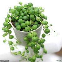 多肉植物のおすすめ人気ランキング7選