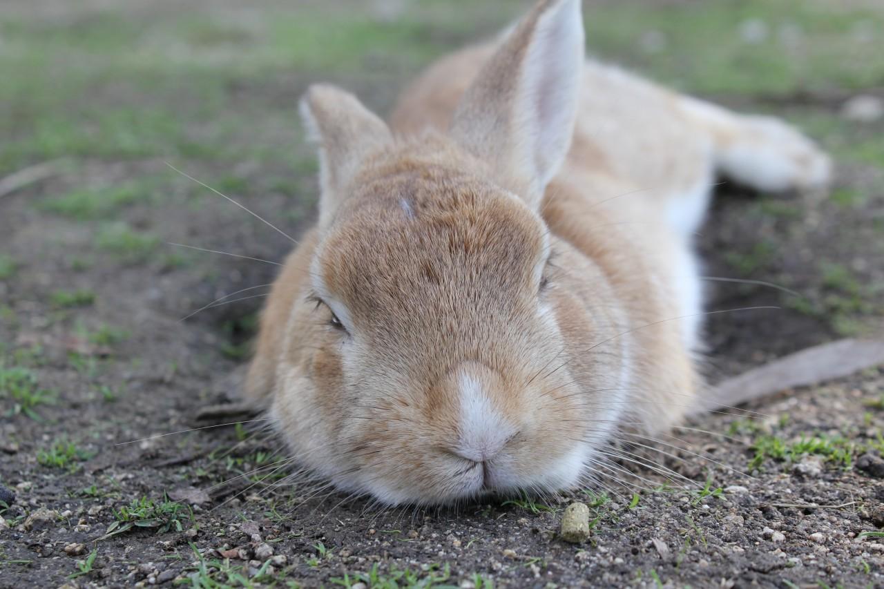 よく人に懐く野生のウサギ