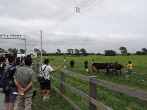 乳牛の次は肉牛の牛舎も見学してもらいました。説明してくれているのは循環農学類 動物生殖工学研究室と動物繁殖学研究室の3年生の皆さんです。この肉牛牛舎では学生が主に牛の管理をしており、日本単角種と黒毛和種の2種類を飼育しています。本学の肉牛牛舎から出荷した肉牛はなんとA5ランクを獲得しています!