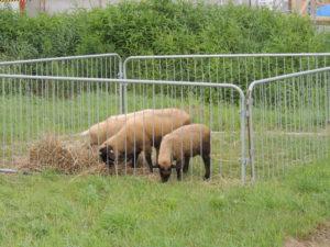 酪農学園大学は牛・馬だけではありません。中小家畜も飼育しており、専門に学んでいる学生もいます。中小家畜についても循環農学類 中小家畜飼養学研究室の教員から施設について、研究内容について説明がありました。2014年に完成したばかりのこの施設では豚のほかに鶏、羊も飼育しています。