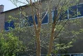 このお庭のシンボル。ヤマボウシの大木です