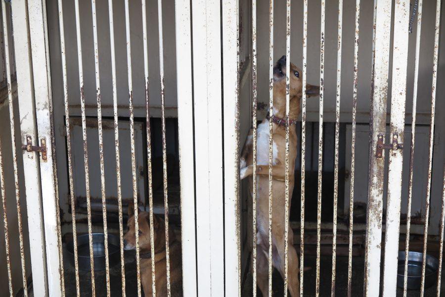 外の犬舎に収容されている大型犬