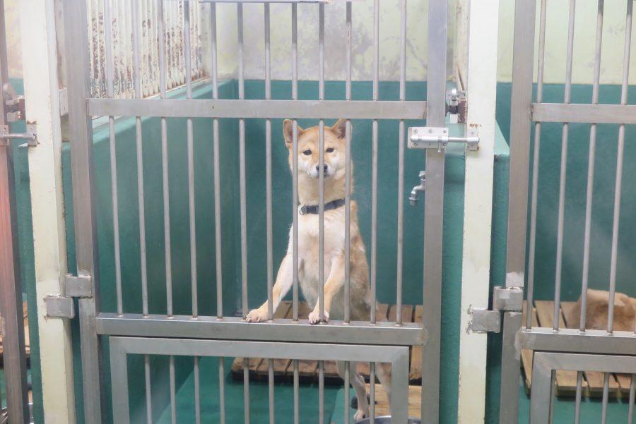 神奈川動物保護センターの収容された犬