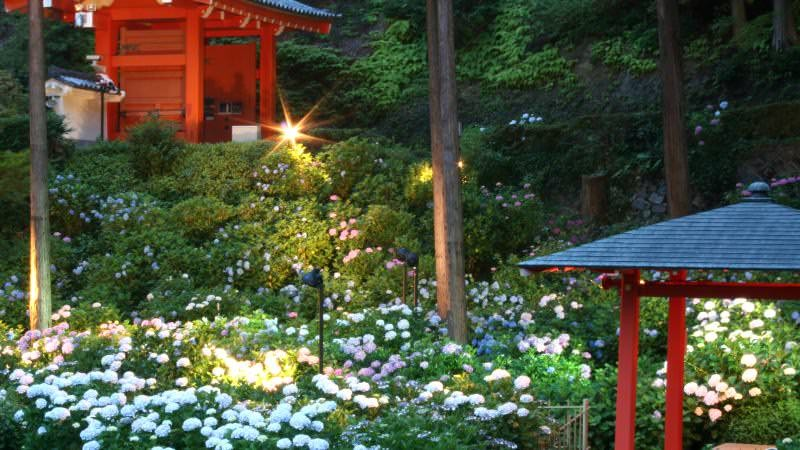 Mimuroto-ji Temple's hydrangea illumination event
