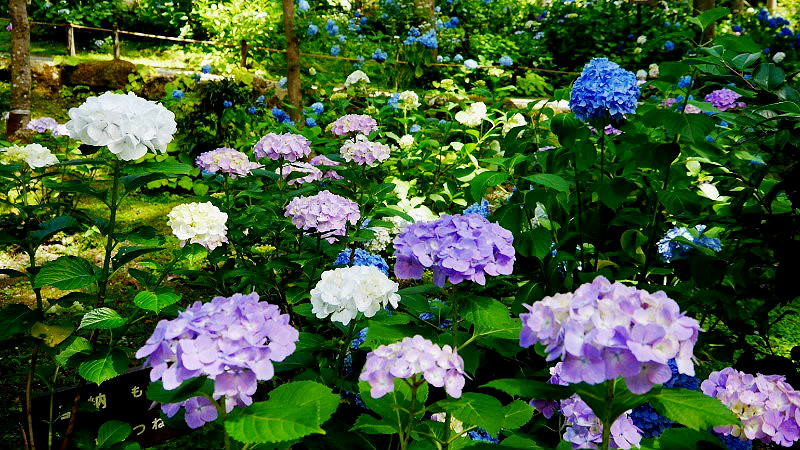 Hydrangea festival at Sanzen-in Temple