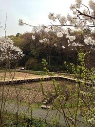 【深大寺城】今月末まで閉鎖中の深大寺城(水生植物園)。桜に挟まれた辺りが一の曲輪。改修されたようで、木の道が新しくなっている。この辺は戦国時代も湿地帯だっただろう。