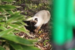 【大阪城】大手門の枡形内の繁みにいたネコ。<br>      名のある種類のネコらしい。種類の名前は忘れてしまった。