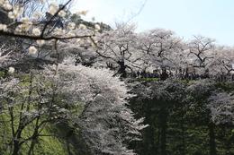 【江戸城】咲き誇るサクラと田安門。<br><br>      平日の月曜だったにも関わらず、田安門の土橋はすごい数の人だった。<br>      土橋上に人のシルエットが多数写っている。<br><br>      土橋近辺では、多くの人数は進退できないのを実感した。