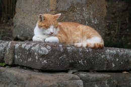 <p>鎌倉の浄妙寺で寝ていたネコ。</p>