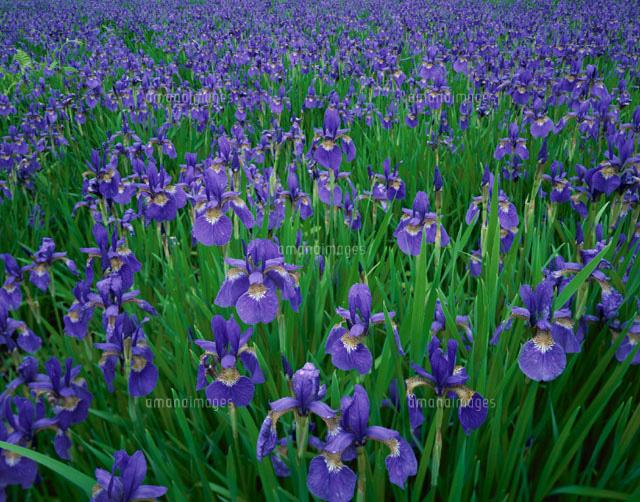 群生する花(あやめ) 盛岡 岩手県