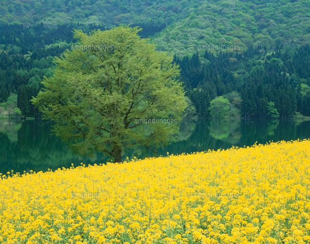 北竜湖の菜の花の畑 飯山市 長野県