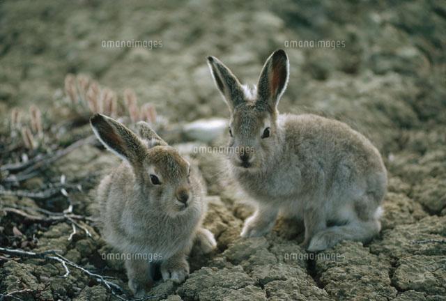 ユキウサギの画像 p1_23