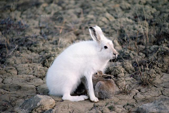 ユキウサギの画像 p1_24